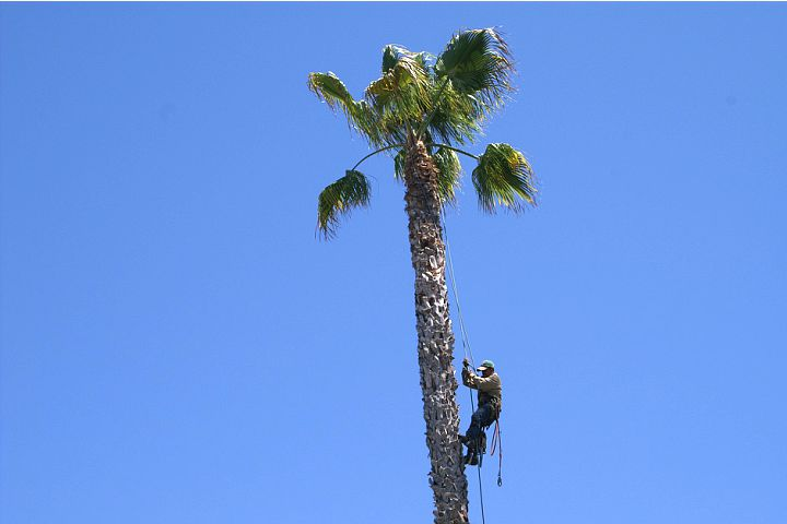 San Diego Tree Service, Tree Removal, Tree Trimming, Pruning, Stump Grinding, Jeff Nelson, Palm Trees